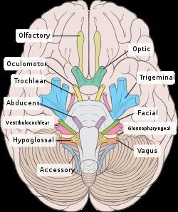 Cranial_Nerves